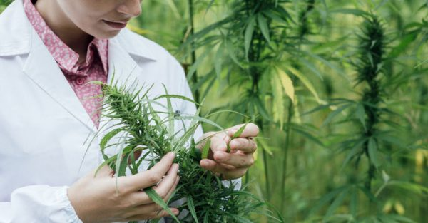 scientist-checking-hemp-flowers-via-cann-pharma-600x313