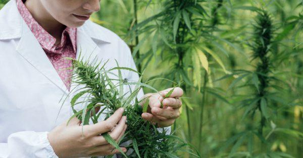scientist-checking-hemp-flowers-via-cann-pharma-600x313